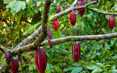 Latest news about the world cocoa market